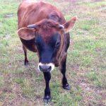 HDF-cow1