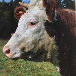 HDF-cow3