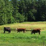 HDF-cows