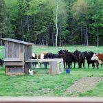 HDF-cows3